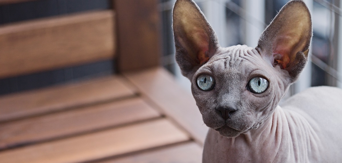 We Have Sphynx Kittens Available! Call (281) 812-2287 Today!